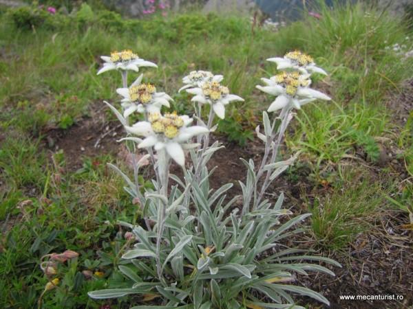 Leontopodium alpinum, plantă calcifilă, pe conglomeratele calcaroase ale Zăganului