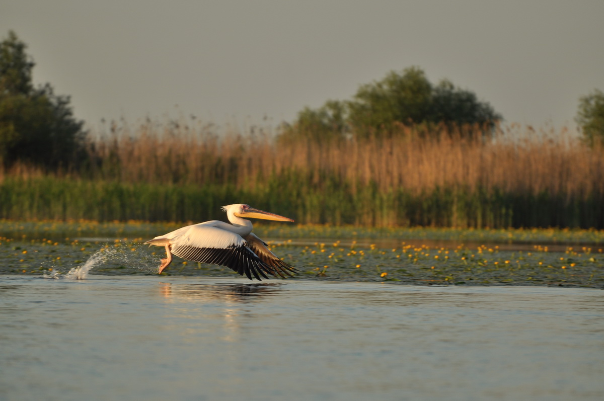 061 Pelican Comun (Pelecanus onocrotalus), Lacul Potcoava, Delta Dunarii_resize