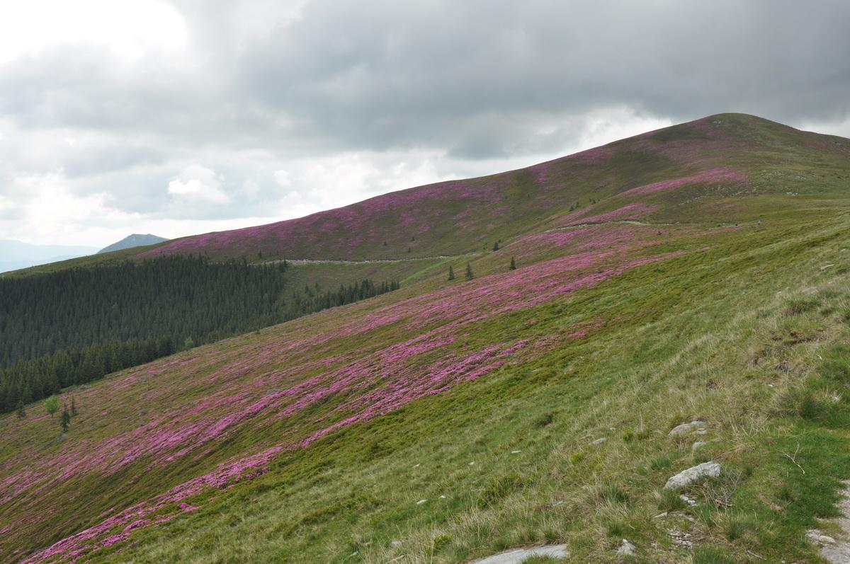 071 Smardar (Rhododendron), Traseul de creasta, Muntii Capatanii_resize